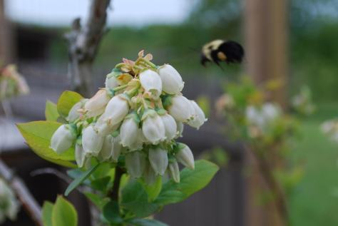 bee checking out blueberry blossoms