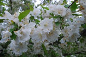 fragrant crabapple blossoms